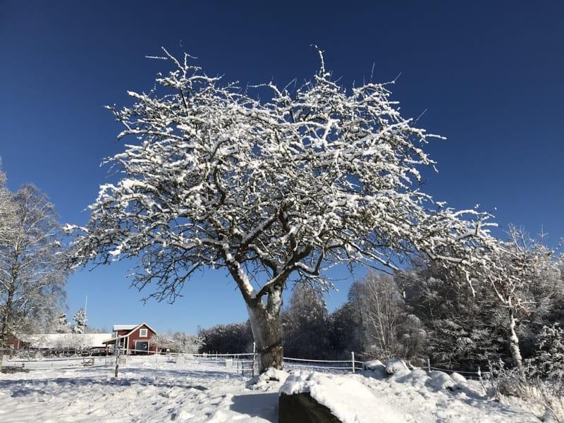 Trä i snö